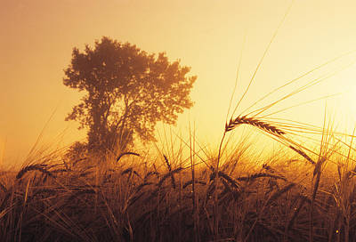 Mist In A Barley Field At Sunset Poster by Dave Reede