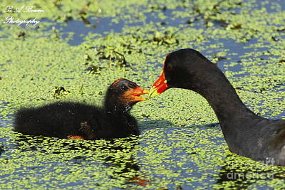 Mother Common Gallinule Feeding Baby Chick Poster by Barbara Bowen