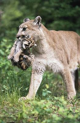 Mountain Lion Carrying Cub By The Nape Poster by David Ponton