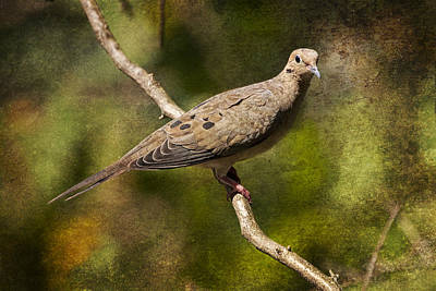 Mourning Dove On A Branch Poster by Randall Nyhof
