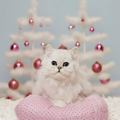 Orange Persian Cat Sitting On Pink Pillow With Christmas Decoration Poster by GK Hart/Vikki Hart