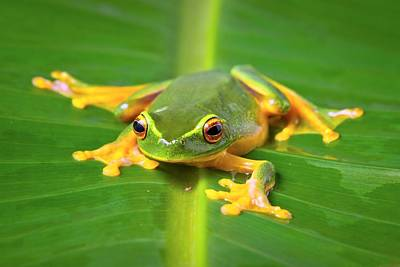 Orange Thighed Tree Frog Poster by Johan Larson