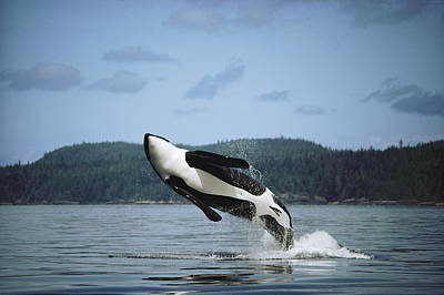 Orca Male Breaching Johnstone Strait Poster by Flip Nicklin
