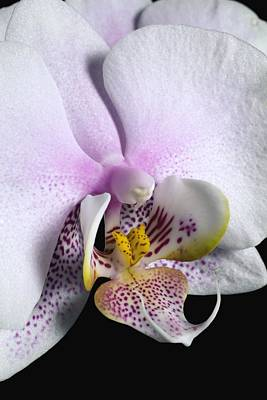 Orchid Poster by David Chapman