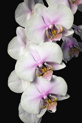 Orchids Poster by David Chapman