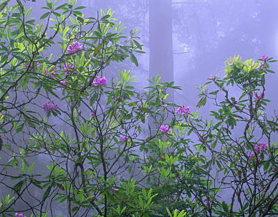 Pacific Rhododendron Flowering In Misty Poster by Tim Fitzharris