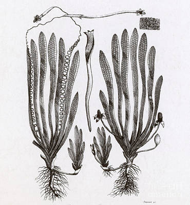 Page From Darwins Botanic Garden Poster by Science Source