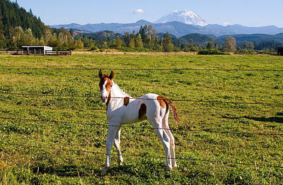 Paint Colt And Mount Rainier Poster by Stacey Lynn Payne