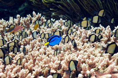 Palette Surgeonfish Over Coral Poster by Georgette Douwma