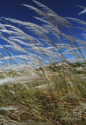 Pampas Grass Poster by Peter Falkner