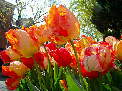 Parrot Tulips In Philadelphia Poster by Mother Nature