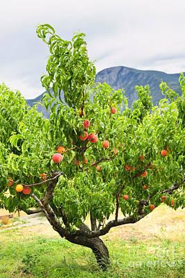 Peaches On Tree Poster by Elena Elisseeva