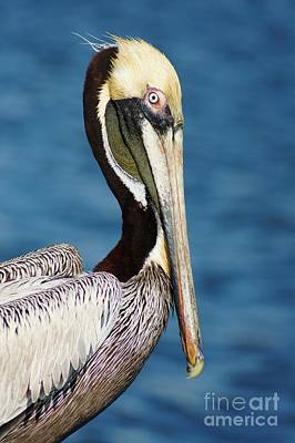 Pelican Profile Poster by Lynda Dawson-Youngclaus