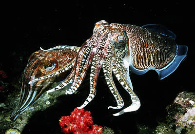 Pharaoh Cuttlefish Poster by Georgette Douwma
