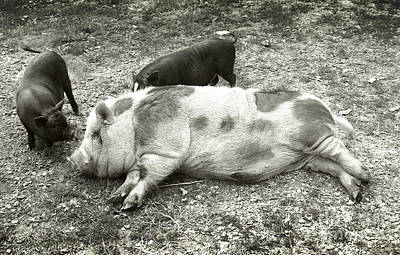 Piggies Poster by Virginia Furness