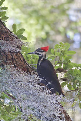 Pileated In The Moss Poster by Deborah Benoit