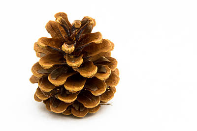 Pine Cone Poster by Jean Noren