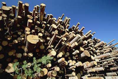 Pine Pinus Sp Logs Drying Poster by Konrad Wothe