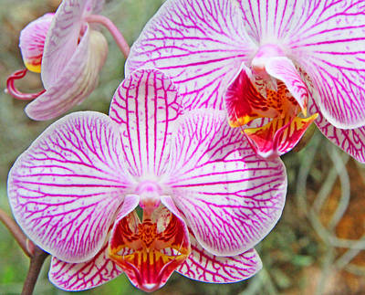 Pink And White Orchids Poster by Becky Lodes