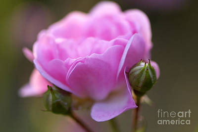 Pink Rose 2 Poster by Sharon Talson