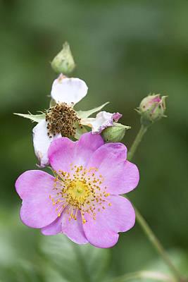 Pink Wildflower Multiflora Rose - Rosa  Poster by Kathy Clark