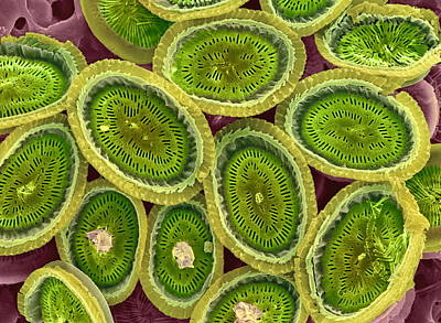 Plankton Cell Wall, Sem Poster by Steve Gschmeissner