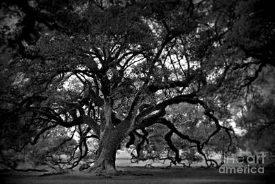 Plantation Oak Tree Poster by Perry Webster
