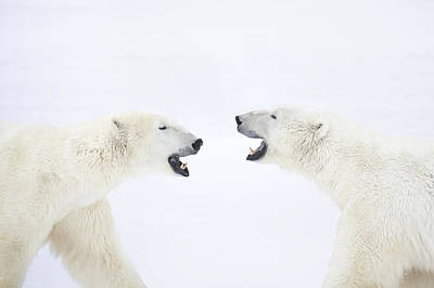 Polar Bears Standing On Snow After Playing Poster by Chris Hendrickson