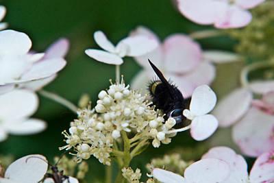 Pollen And Nectar Feeding Fly 8 Poster by Douglas Barnett