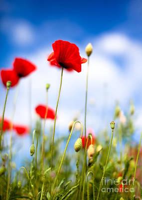 Poppy Flowers 12 Poster by Nailia Schwarz