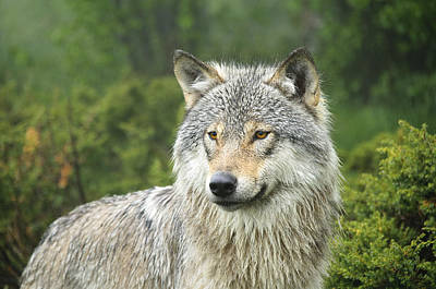 Portrait Of A Wolf Poster by Andy-Kim Moeller