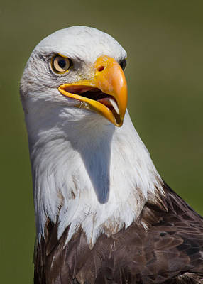 Portrait Of An Eagle Poster by Naman Imagery