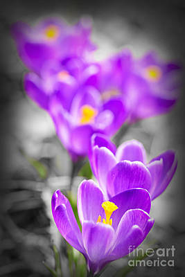 Purple Crocus Flowers Poster by Elena Elisseeva
