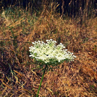 Queen Anne's Lace On The Beach Poster by Michelle Calkins