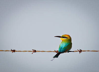 Rainbow Bee-eater Perched On Wire Poster by Johan Larson