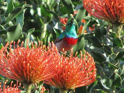 Rainbow Sunbird Poster by Vijay Sharon Govender