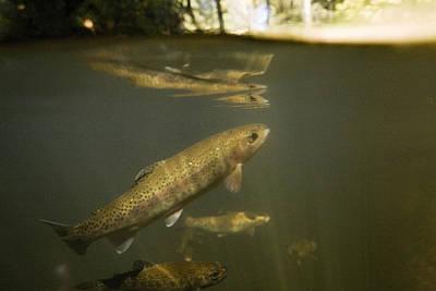 Rainbow Trout In Creek  Aptos California Poster by Sebastian Kennerknecht