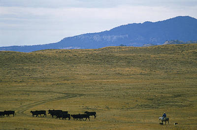 Rancher Moves His Cattle Under Little Poster by Gordon Wiltsie