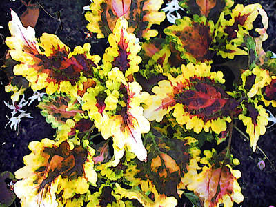 Red And Yellow Coleus Poster by Elaine Plesser