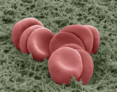 Red Blood Cells, Sem Poster by Thomas Deerinck, Ncmir