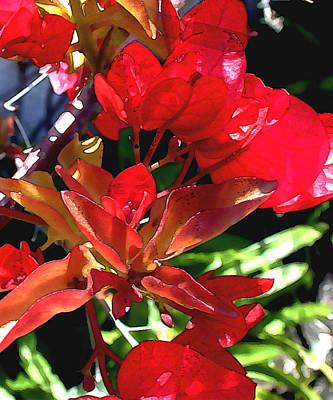 Red Bougainvillea Poster by Elaine Plesser
