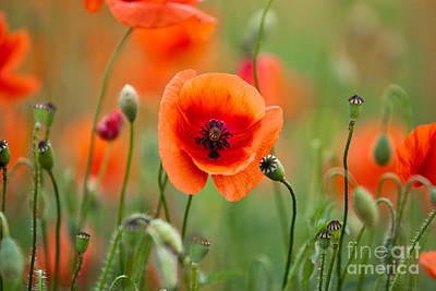 Red Corn Poppy Flowers 07 Poster by Nailia Schwarz