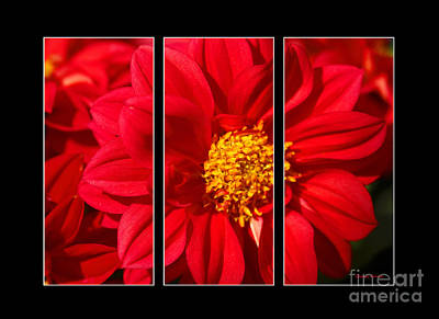 Red Dahlia Triptych Poster by Cheryl Young