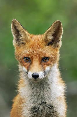Red Fox Vulpes Vulpes, Hoge Veluwe Poster by Jan Vermeer