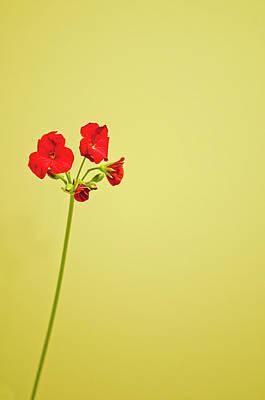 Red Geranium Poster by Gail Shotlander
