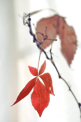Red Leaf Poster by HD Connelly