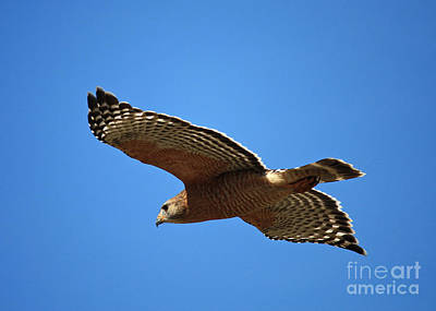 Red Shouldered Hawk In Flight Poster by Carol Groenen