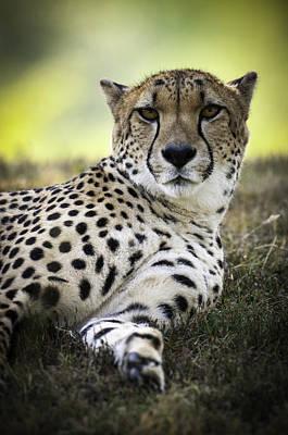 Resting Cheetah Poster by Chad Davis