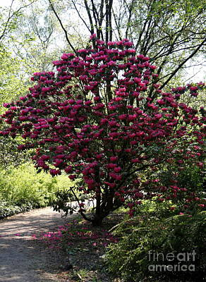 Rhodendron Shrub Poster by Christiane Schulze Art And Photography
