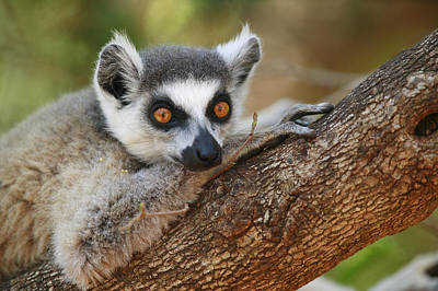 Ring-tailed Lemur Resting Poster by Cyril Ruoso